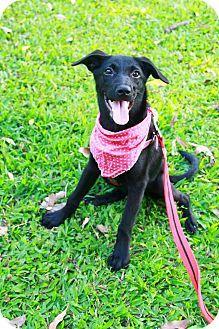 Castro Valley, CA - Labrador Retriever Mix. Meet Haina, a puppy for adoption. http://www.adoptapet.com/pet/13233711-castro-valley-california-labrador-retriever-mix