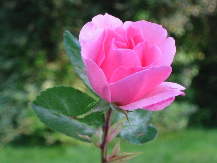 Beautiful Pink Roses Wallpapers Free Download, Rose_18