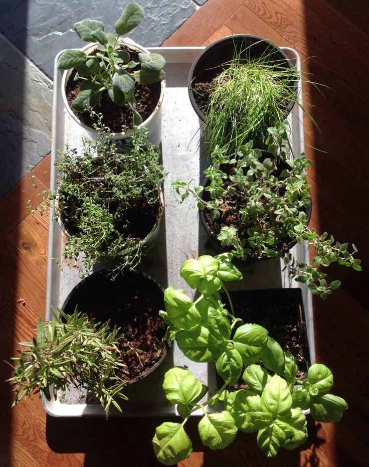 81 best winter indoor gardening images on pinterest indoor grow in winter part 1 herbs workwithnaturefo