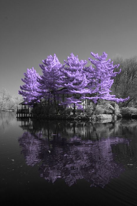 lavender trees and grey sky reflections