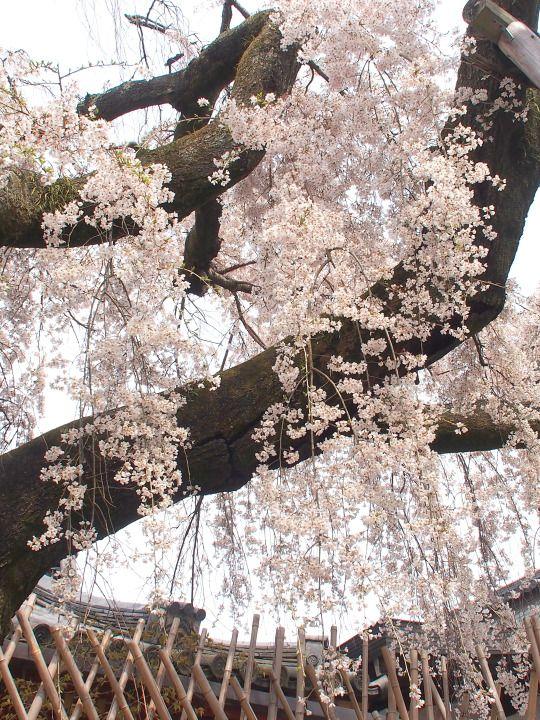 542:「奈良公園の氷室神社のしだれ桜です!」@奈良公園