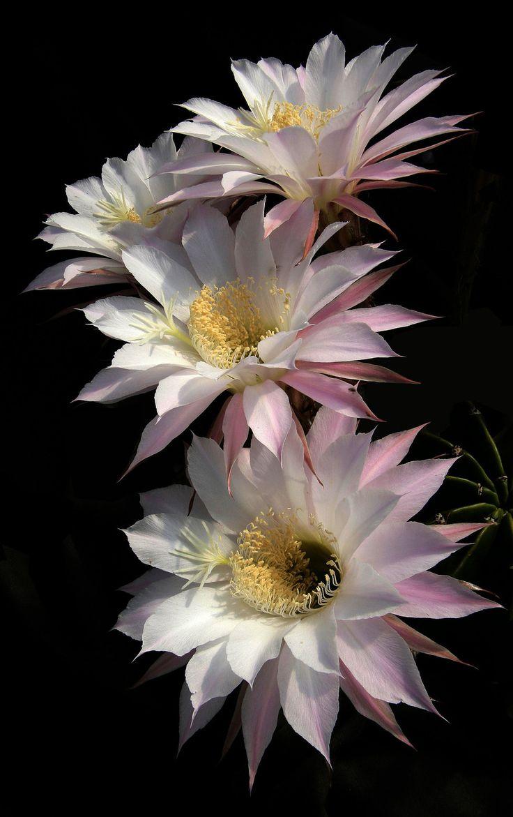 Echinopsis oxygona (Link & Otto) L.K.G.Pfeiffer & Otto ...