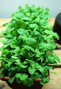 #Spenat är jätteenkelt att #odla inomhus och skördas som #mikroblad eller lite större som fräsch #babysallad