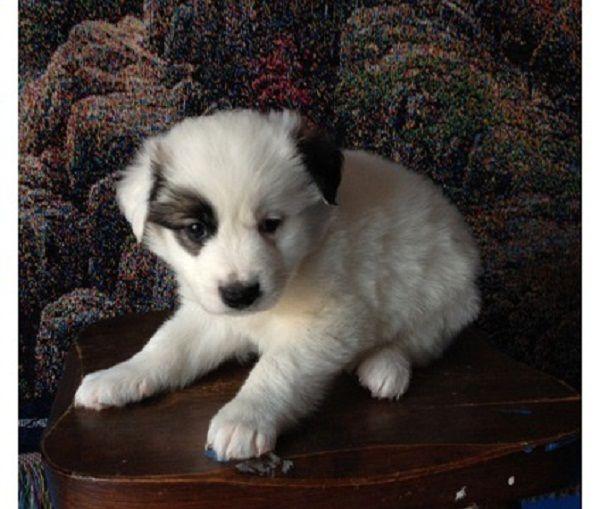 miniature border collie puppies | Zoe Fans Blog
