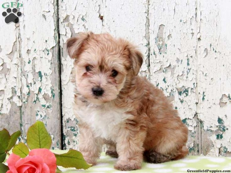 Pippin, YorkiePoo puppy for sale from Gap, PA (With