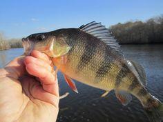 Flies for yellow perch yellow perch fishing for Yellow perch fishing secrets