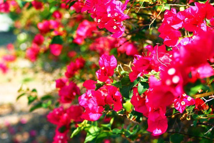 Bougainvillea  http://donna365photoproject.blogspot.ca/?m=1