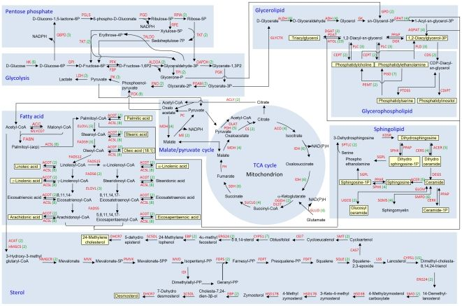 The glycolysis, pentose phosphate pathway, fatty acid synthesis, tricarboxylic acid cycle, malate/pyruvate cycle, sterol, glycerophospholipid, sphingolipid and glycerolipid synthesis pathways are outlined.