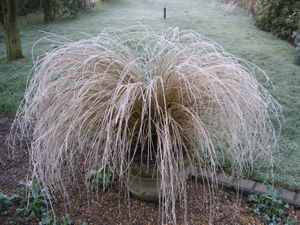Chionochloa rubra, A stunning evergreen grass that looks beautiful all year round, very suitable for large container