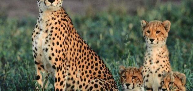 الفهد معلومات حول تاريخ الانسان مع الفهود وانواعها وخصائصها ونظامها الغذائي Animals Fox