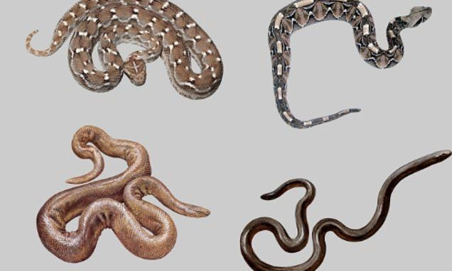 Humans Can Instinctively Tell If A Snake Is Venomous In 2020 Snake Pics Of Snakes Gaboon Viper