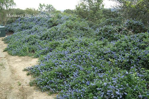 Do Ferns Grow Under Oak Trees : Ceanothus yankee point high wide low water bramble cottage