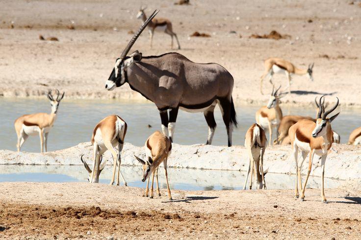 """A palavra """"etosha"""" significa """"grande sítio branco"""" e, embora obviamente não esgote tudo aquilo que o Parque nos mostra, mesmo à primeira vista, é realmente um bom resumo daquilo que os nossos olhos vêem quando estamos no centro deste que é o mais famoso Parque Nacional da Namíbia. Curiosamente, o """"grande sítio branco"""" já foi …"""