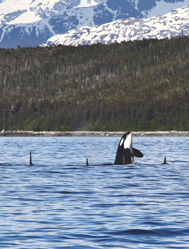 176 best Orcas images on Pinterest | Killer whales, Orcas ... Orca Pod Breaching