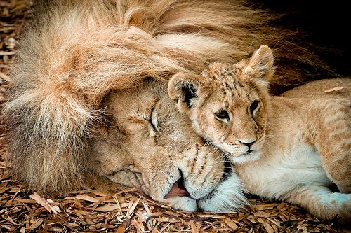Lion with cub. By Paul Mansfield on flickr