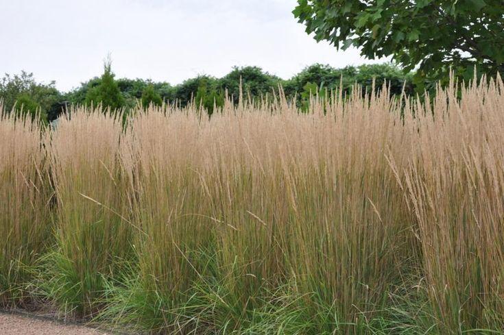 calamagrostis overdam - takto nejak by vizerali plochy tráv
