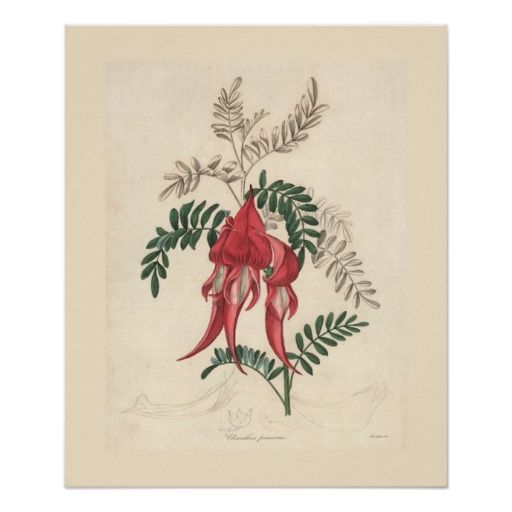 Vintage Botanical Print - Sturts Desert Pea    Beautiful vintage botanical illustration of Sturts Desert Pea in glorious color.