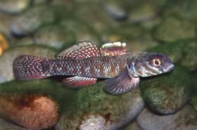An Overview of New Zealand's Freshwater Fish Fauna | NIWA