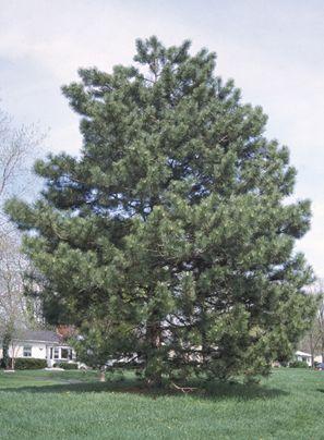 Trees of Ohio: Austrian Pine