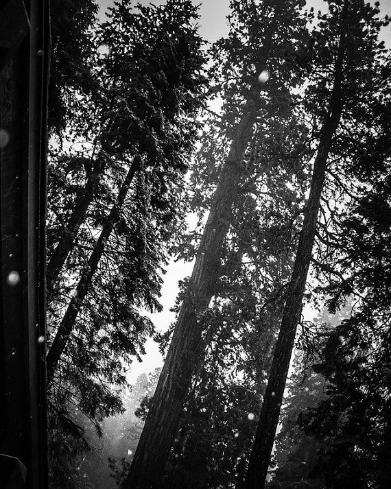 8x10 Black and White Print The Majestic Sequoias by PelliculArt