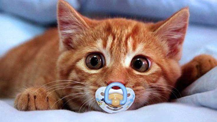 Bakımları dikkat gerektiren kediler bazen sağlık problemleri yaşayabilirler. Bunların arasında en sık karşılaşılan durum ise kusmadır. Bu yüzden çok dikkatli ve tedbirli olunmalıdır. Detaylar ajanimo.com'da.. #ajanimo #ajanbrian #hayvan #animal #cat #kedi