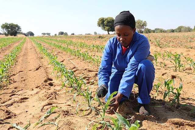 FAO launches guide to effectively control fall armyworm (FAW) in Africa