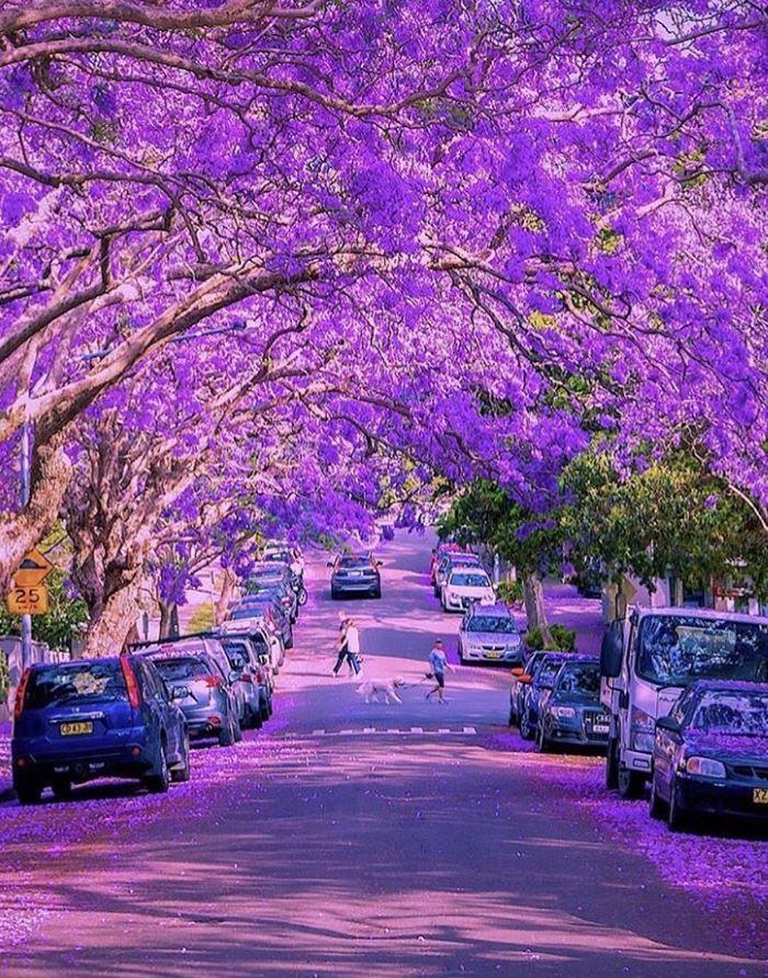 Purple Jacaranda Trees on McDougall Street, Milsons Point