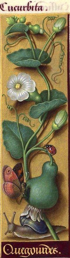 Quegourdes - Cucurbita (Lagenaria vulgaris Ser. = calebasse) -- Grandes Heures d'Anne de Bretagne, BNF, Ms Latin 9474, 1503-1508, f°81r