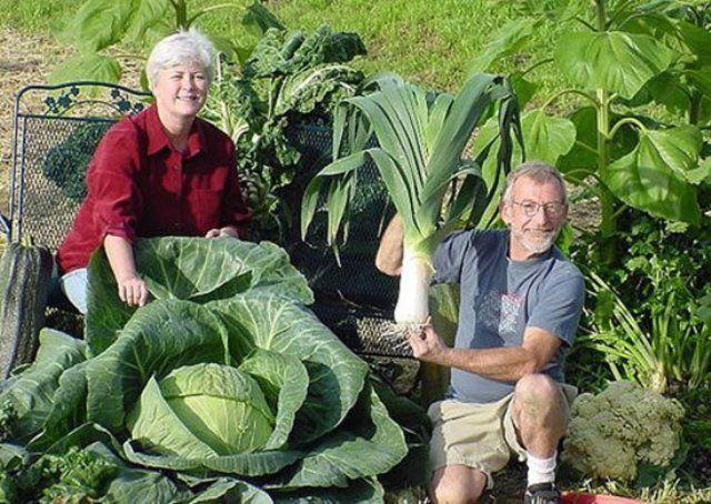 1. Чтобы выросли корнеплоды-великаны Чтобы вырастить крупные корнеплоды (морковь, свеклу и т. д.), можно использовать следующий нетрадиционный способ посадки. Железным ломиком сделать в земле дырочки…
