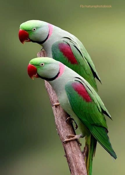 Lovely  Alexandrine parakeets .. these come to my window everyday in pairs ..