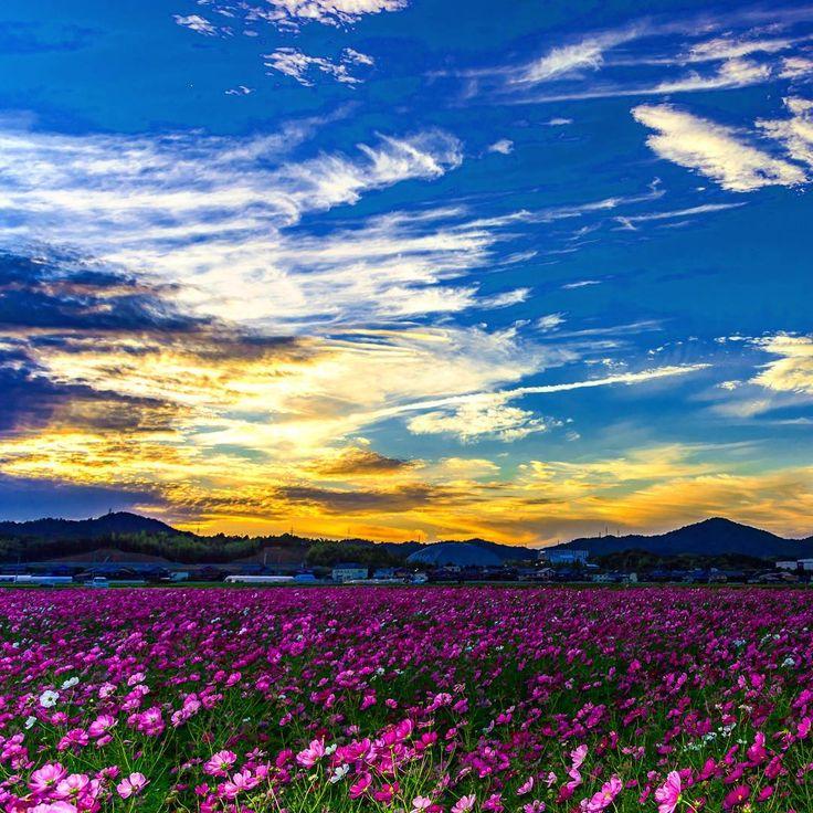 秋桜畑からの夕焼け綺麗でした(╹◡╹) #はなまっぷ秋桜2016  #はなまっぷ  #コスモス  #petal_perfection  #ptk_flowers  #bns_flowers  #wp_flower  #カメラのキタムラ写真投稿 #bestnatureshots  #bestjapanpics  #japan_daytime_view  #japan_of_insta  #japan_photo_now  #tokyocameraclub  #team_jp_flower  #team_jp_  #team_jp_西(滋賀) #カメラ好きな人と繋がりたい  #写真好きな人と繋がりたい  #写真撮ってる人と繋がりたい  #ファインダー越しの私の世界  #誰かに見せたい空  #lovers_nippon  #loves_nippon  #loves_japan  #sunset_madness  #9vaga_flowersart9  #nikond750  #nikon倶楽部 #わたしのふるさと自慢