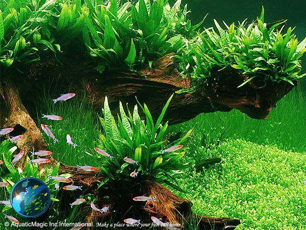 Aquarim plants - aquatic plants - java moss - Fern - Philippine Java fern