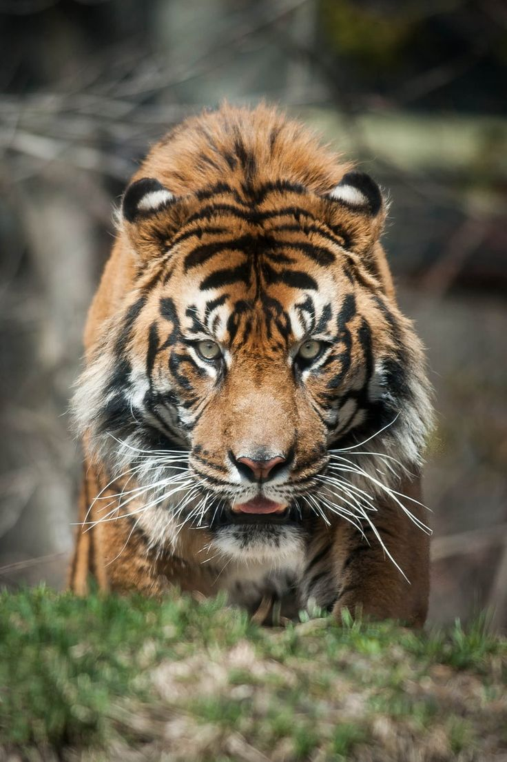 207 best tiger pictures images on pinterest animals wild