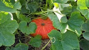 Image result for pumpkins growing