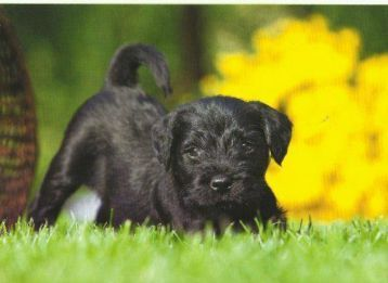 Zwarte Mini Schnauzer Pup