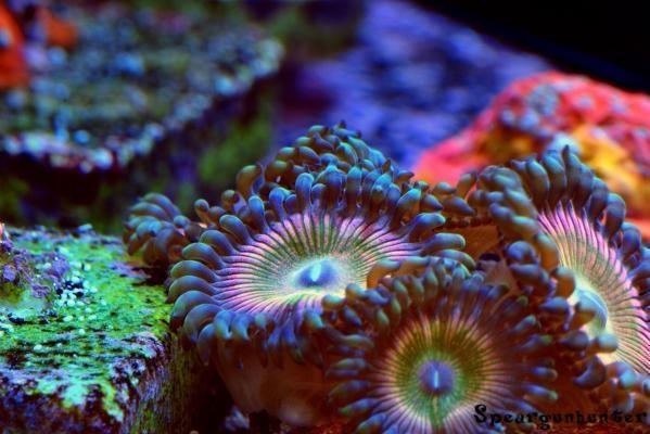 Pink Rainbow Delight #zoas #corales #zonareef