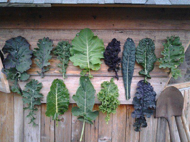 How to grow kale. (Kale diversity photo, Nick Routledge.)