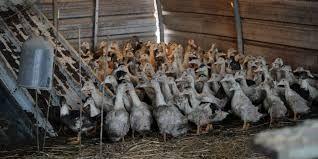 La zone d'abattage préventif des palmipèdes a été étendue de 150 à 187 communes dans quatre départements du Sud-Ouest touchés par l'influenza aviaire H5N8, selon un arrêté publié mardi au Journal officiel, qui ajoute à la liste précédente 38 communes et en retire une.