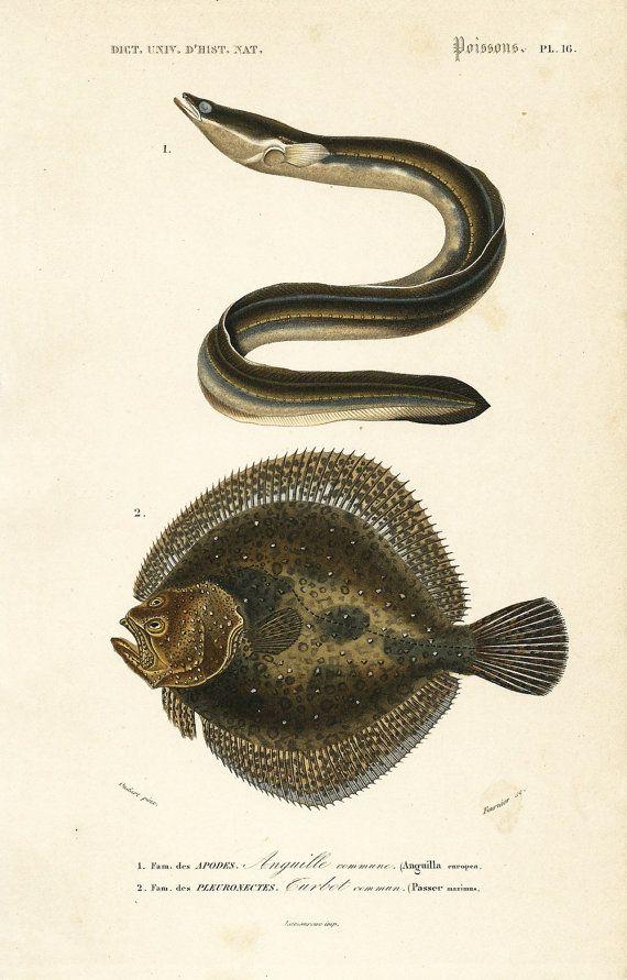 1861 Anguille et Turbot, Gravure ancienne Orbigny, Lithographie couleur 19ème, Ichtyologie