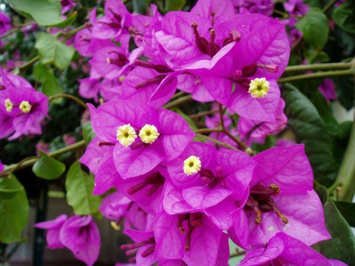 25+ Best Ideas About Balkonpflanzen Sonnig On Pinterest ... Exotische Pflanzen Garten Bougainvillea Drillingsblume