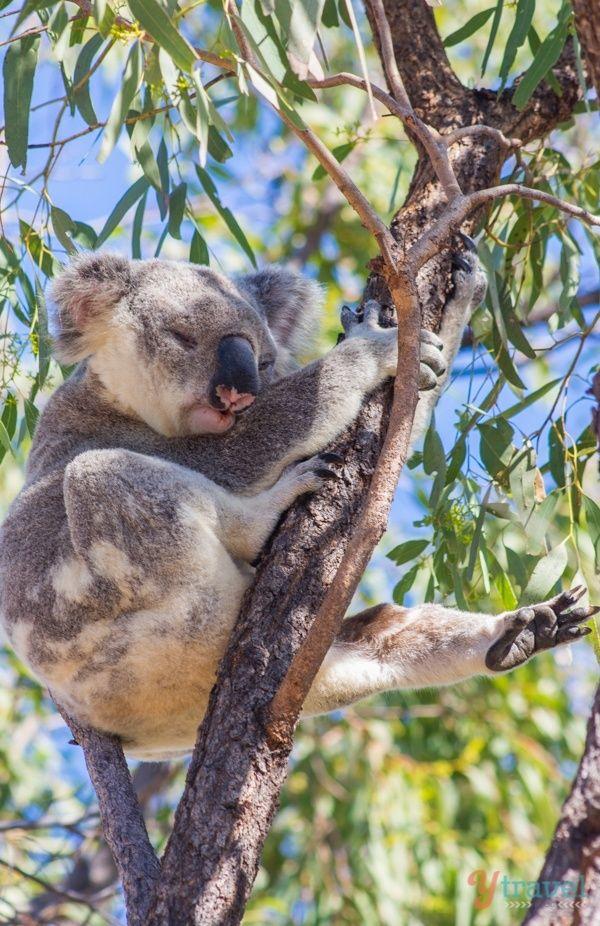 Cute koala on Magnetic Island - Queensland, Australia