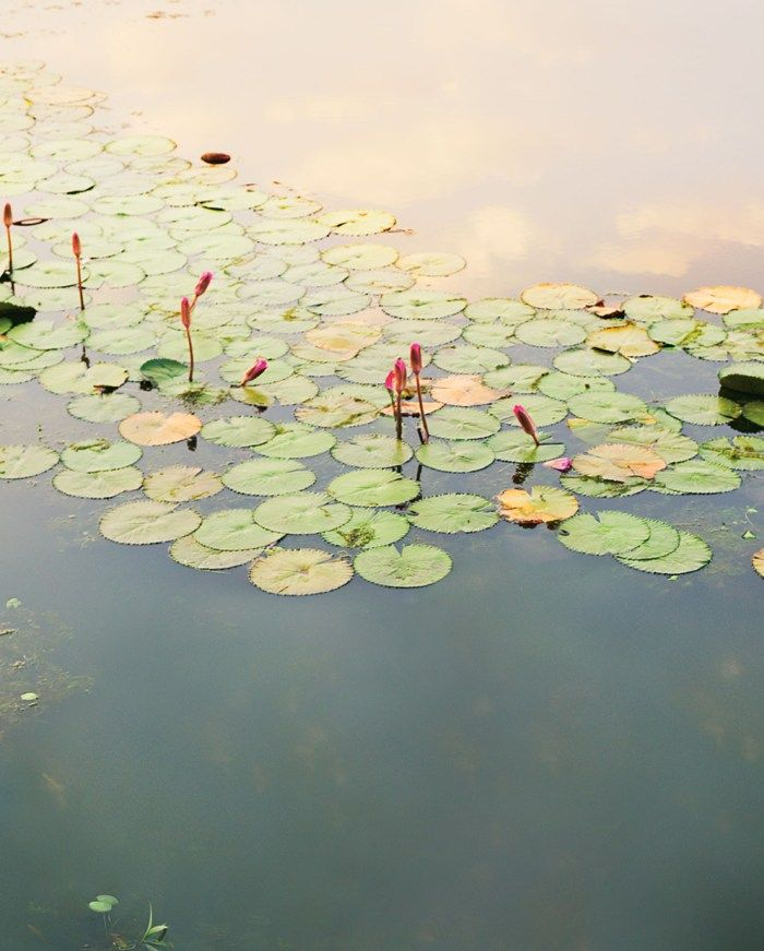 Kate O'Brien, editor of Plant Magazine, on the history of the waterlily – a plant which graced the glassy, still waters of Gep Sagar Lake, the location for our Late Spring shoot. Waterlily's reign as 'Queen of the Aquatics' in the British pond stems from victorian times, during a period when Queen Victoria herself was …