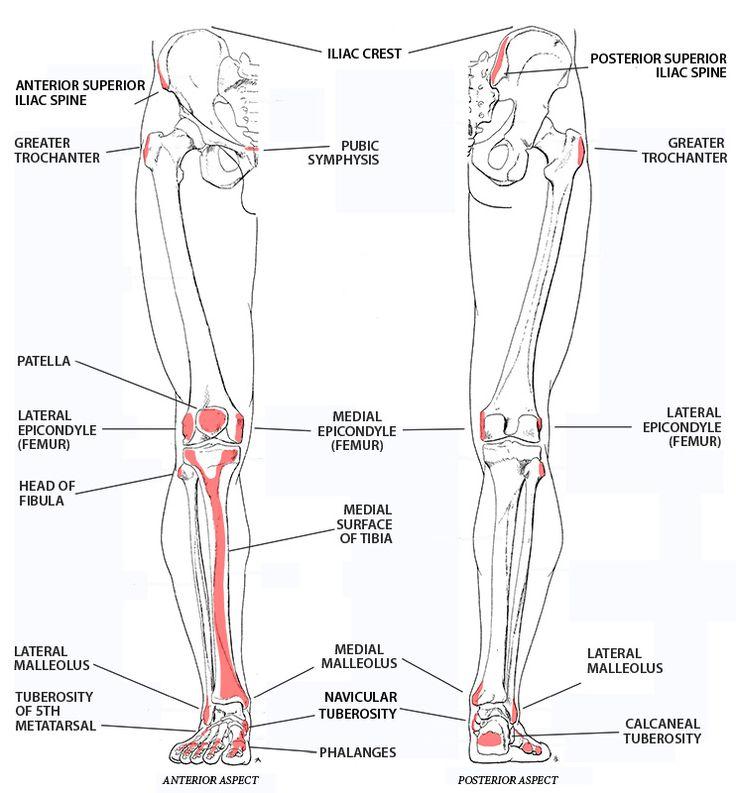 125 besten Anatomy Bilder auf Pinterest | Menschliche anatomie ...