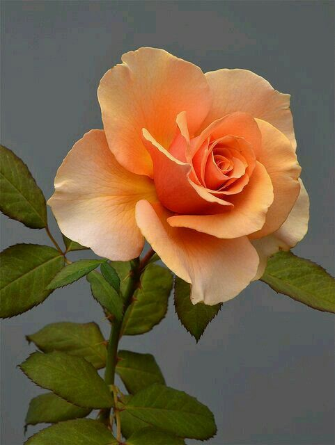 Rose what a beauty!!