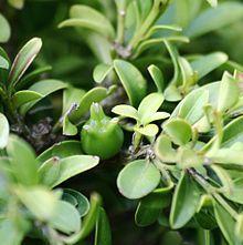 Buxus microphylla - Wikipedia