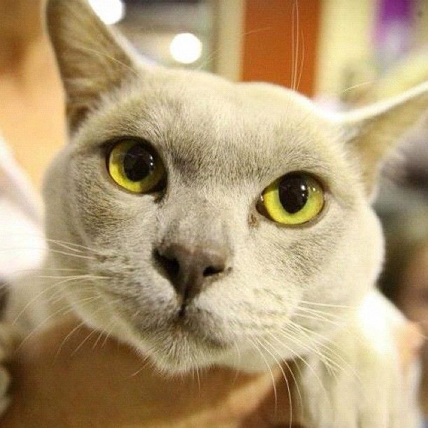Beautiful Burmese #Cat at the Feline Show at #theEkka in #Brisbane