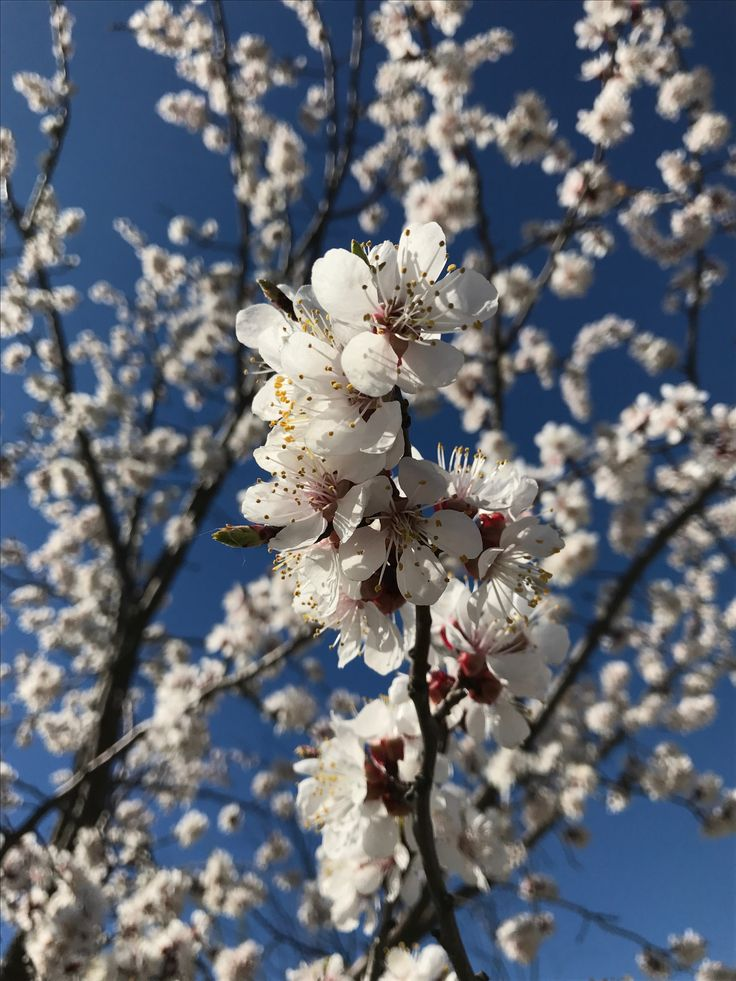 Beautiful flowers in spring. Interesting world Roxi the beautiful blossom trees in spring sunny day #bloom #interestingworldroxi