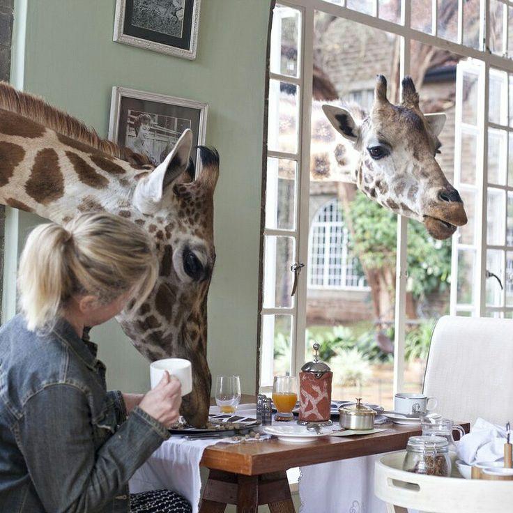 Be prepared to share your breakfast with giraffe's at Giraffe Manor Kenya