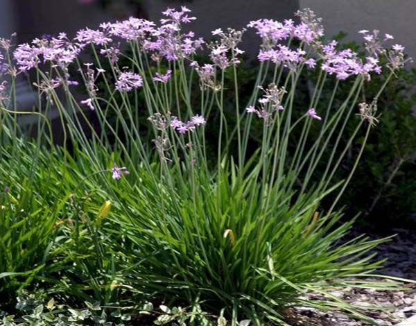 Society Garlic: The leaves look like chives and if you walk by a planting of this South African native bulb and brush the foliage, you'll catch a whiff of garlic. The beautiful clusters of lavender-pink flowers have a sweet fragrance, similar to hyacinth perfume. They open up on tall stems from early summer until late fall. Noted for its drought tolerance. Southern gardeners can grow it year-round outdoors; it tolerates summer heat well and blooms for months. The plants do best in full sun.