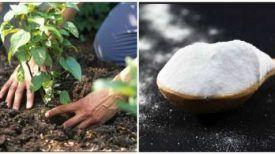 Si seulement vous saviez à quel point le bicarbonate serait utile pour votre jardin et vos fleurs ! Voici 5 secrets à apprendre…